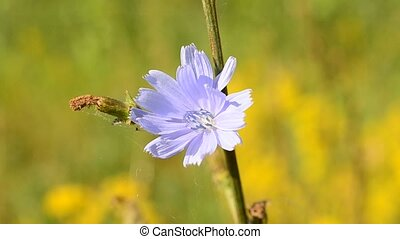 Bee alights on blue chicory flower and flies away