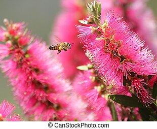 Bee and callistemon - A honey bee, sacs laden with pollen, ...