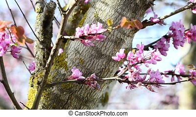 Bee and Judas tree. - Bee on a beautiful pink flowers of...