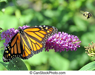 Bee and Monarch Butterfly on a buddleja flower