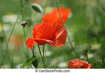 Bee and poppy flower