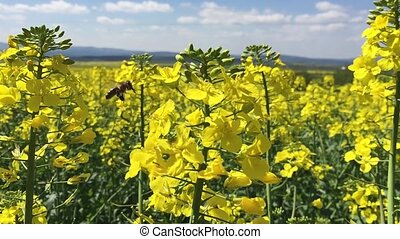 Bee and rapeseed flowers, slow motion HD