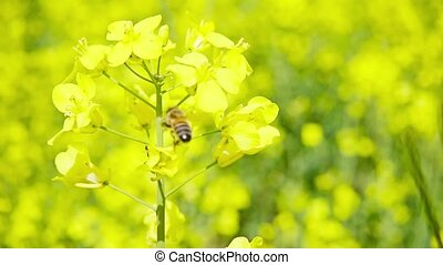 Bee and rapeseed flowers, slow motion