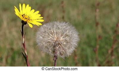 bee and yellow dandelion on meadow