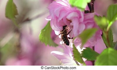 Bee are pollinating apricot flowers in the springtime. Close...