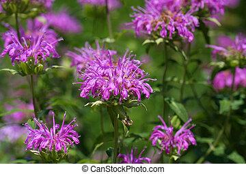 Bee Balm flower - Bee Balm Monarda flower in early morning...
