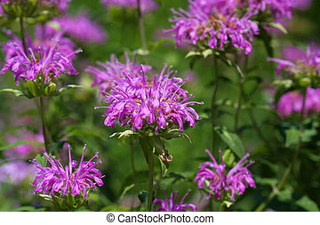 Bee Balm flower - Bee Balm Monarda flower in early morning...