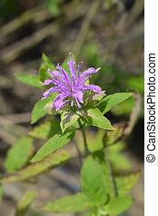 Bee balm Violacea