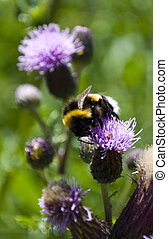 Bee busy with the pollination of the plant