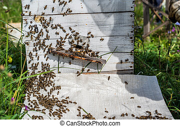 Bee close up. Bees at the bee hive. Swarm of bees