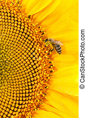 Bee collect nectar on big sunflowers flower - Honey bee...