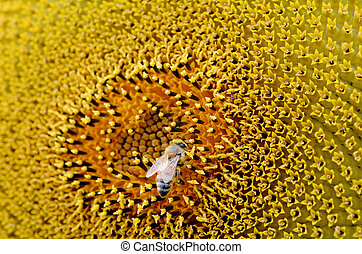 Bee collect pollen inside sunflower blossom. Hairs on Bee are covered in yellow pollen as are it's legs. close up macro view