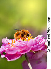 Close up bee collecting honey on pink flower