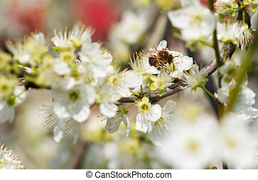 Bee collecting honey on a flowering tree in spring