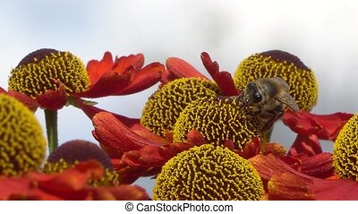 Bee collecting nectar from a red flower on a blury gray...