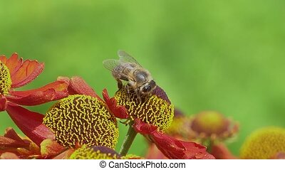 Bee collecting nectar from a red flower on a green backround...