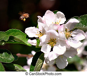 Bee collecting nectar from white and pink flowers in fruit tree