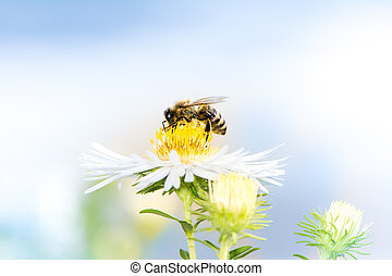 Honeybee collecting nectar on a white aster flower.