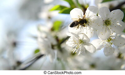 Bee collecting pollen from flowers