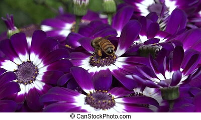 Bee collecting pollen from purple and white flower.