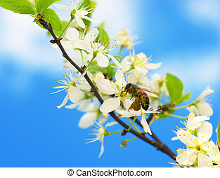 bee collecting pollen on a branch of a fruit tree with white...