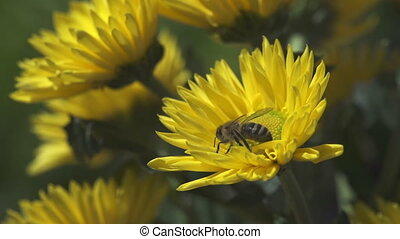 bee collecting pollen on yellow flower. slow motion