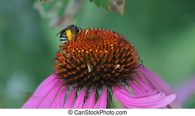 Bee Collecting Pollen - bee collects pollen from flower