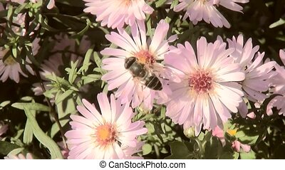 Bee collects honey on Michaelmas daisis (Aster novae-belgii)
