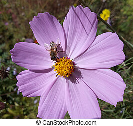 Bee collects nectar from flowers cosmos.
