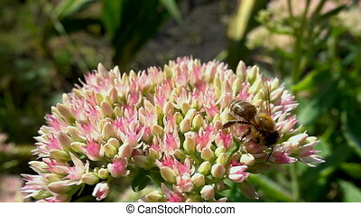 bee collects nectar from flowers, slow motion.