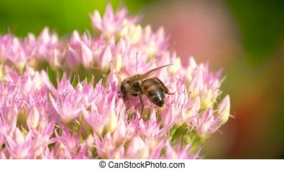 Bee collects nectar on blossom pink flower - Sweet flower in...