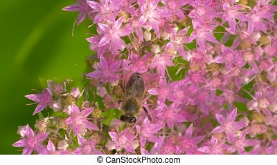 Bee collects nectar on blossom pink flower with many pollen....