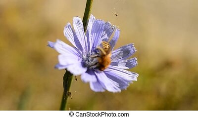 Bee collects nectar on blue chicory. Pollination of meadow...