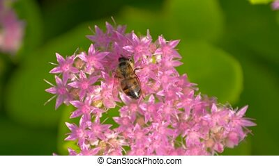 Bee collects nectar on pink flower. Top view. - Bee collects...