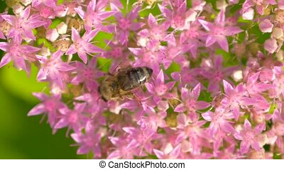 Bee collects nectar on pink flower. Top view. - Winged bee...