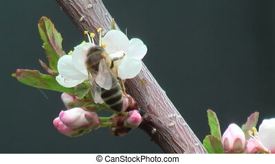 Bee collects nectar on plum