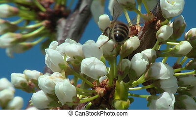 Flowers of the dismissed plum and the bee collecting nectar