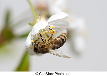 bee collects nectar on the flowers of cherry - honeybee...