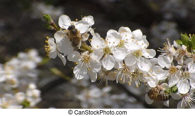 bee collects nectar on the flowers of white blooming apple....