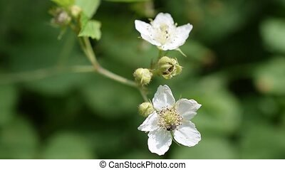 Bee collects nectar on white blackberry flower