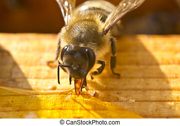 Bee collects nectar spilled - Bee collects spilled on the...