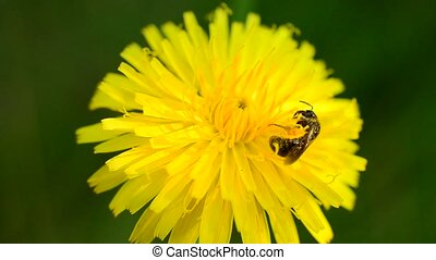 Bee collects pollen on dandelion