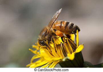 Bee collects pollen on dandelion flower