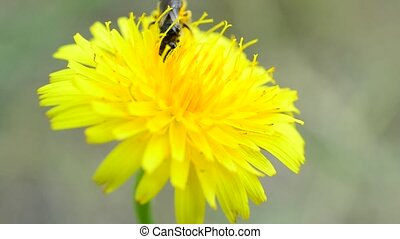 Bee collects pollen on yellow dandelion