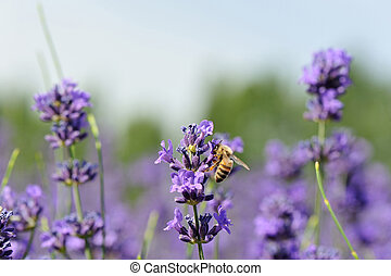 bee collects scented lavender flowers at field