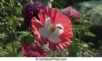 Bee collects the nectar on garden poppy - Bee collects the...