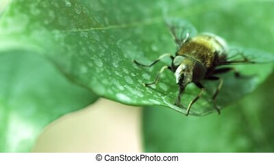Bee crawling on a leaf, close-up shot, bumble foot rubs
