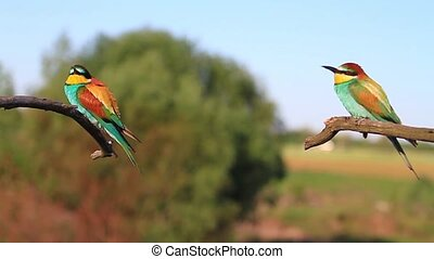bee-eater in spring day courtship marriage,wildlife