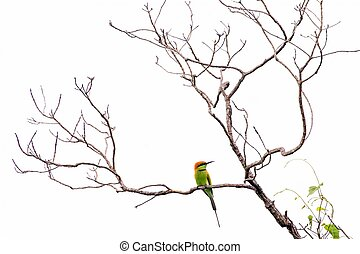 Bee eater on branch isolated