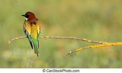 Bee-eater perched